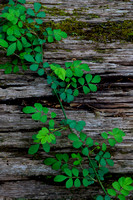 Spring Vine on Fallen Tree Trunk in Conkles Hollow by Jim Crotty