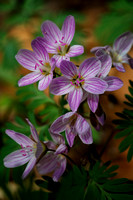 Spring Beauty Wildflower by Jim Crotty
