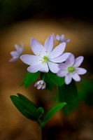 Rue Anemone Wildflower by Jim Crotty (1)