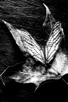 Wings and Leaves in Black and White