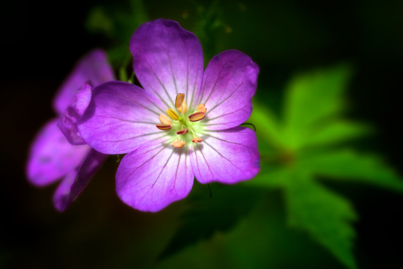 Wild Geranium at Conkles Hollow by Jim Crotty