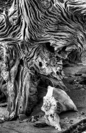 Driftwood and Shell in Black and White by Jim Crotty