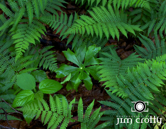 Ferns and Mayapple in Conkles Hollow by Jim Crotty