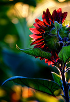 Backlit Sunflower at Sunrise by Jim Crotty