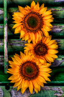 Sunflowers and Plantation Shutter
