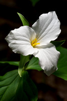 Trillium in Conkles Hollow by Jim Crotty