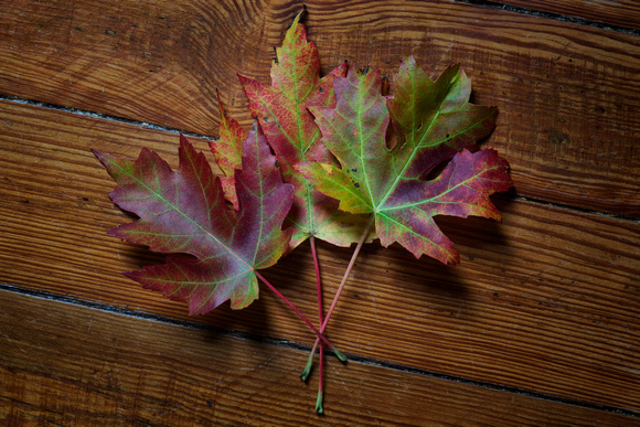 Three Maple Leaves by Jim Crotty